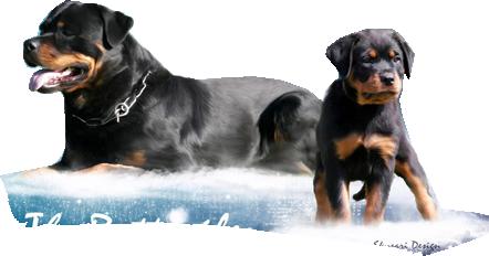Scădere în greutate rottweiler, Rottweiler - Wikipedia